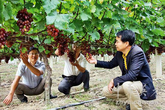 【6】欧阳华在果农的葡萄园